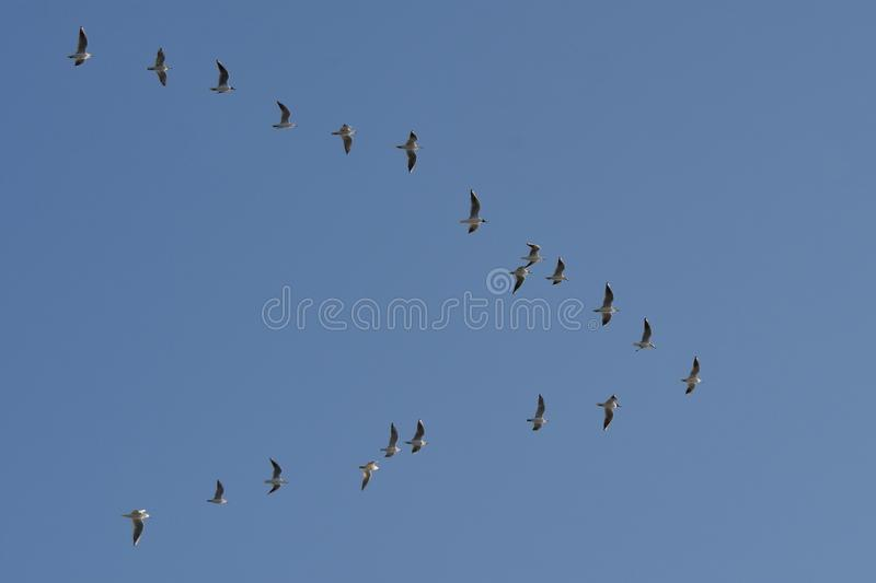 Flock of migrating birds flying in formation stock image