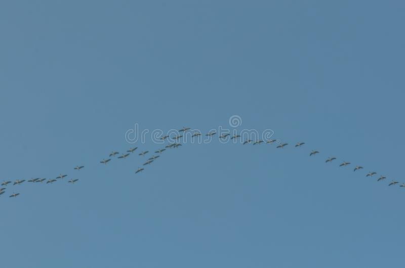 Flock of migrating birds. Flock of migrating geese and blue sky royalty free stock photos