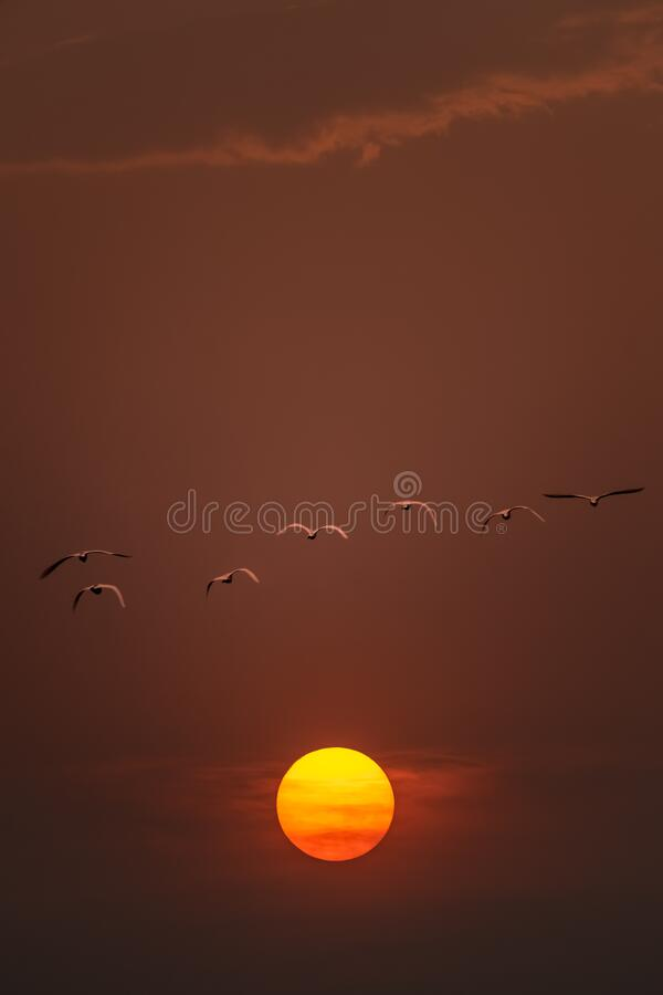 A flock of migratory birds are flying in the red sky. A flock of migratory birds are flying to the golden sun stock photo