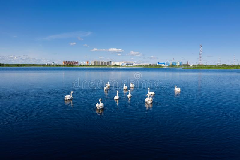A flock of mute swans swim near the Russian city of Nadym on Yamal stock image