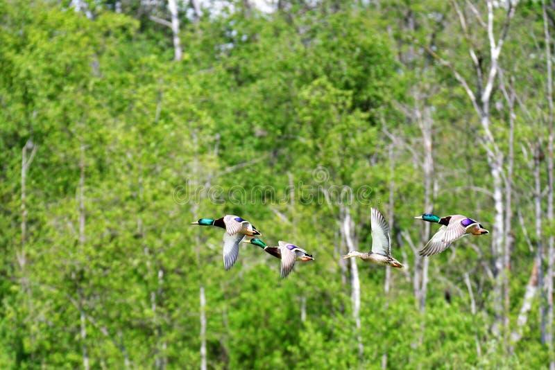 Flock of Nallard ducks flying in the air.  royalty free stock photos