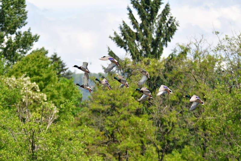 Flock of Nallard ducks flying in the air.  stock image