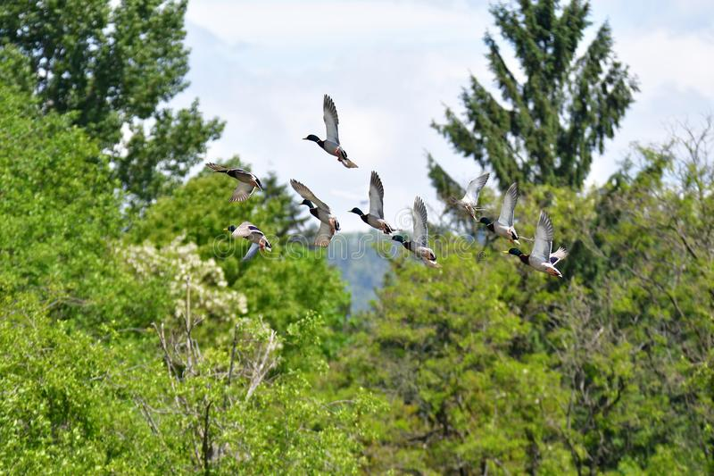 Flock of Nallard ducks flying in the air.  royalty free stock photography