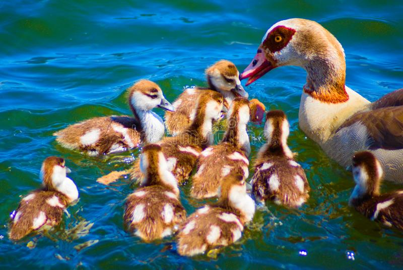 A flock of newborn brown ducks and mother stock image