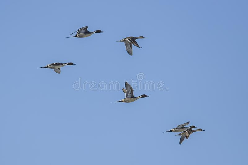 Flock of northern pintails in the sky royalty free stock images