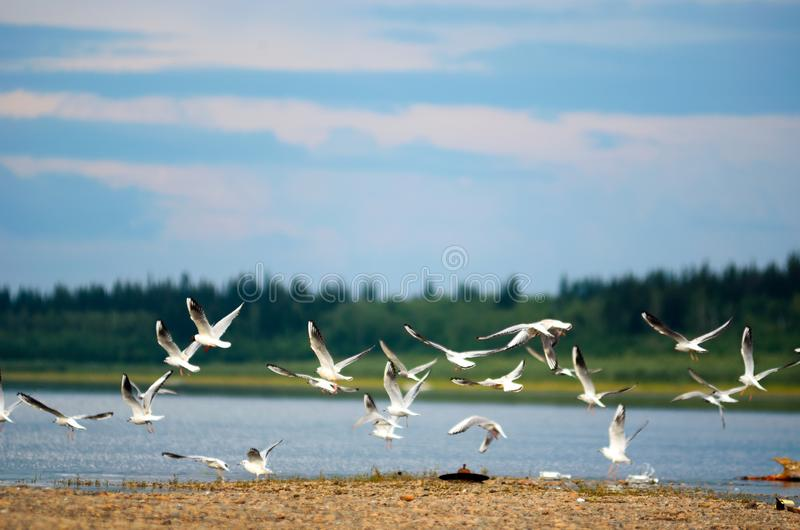 A flock of Northern white birds seagulls flies over the Bank of the river Viluy in Yakutia. stock photography