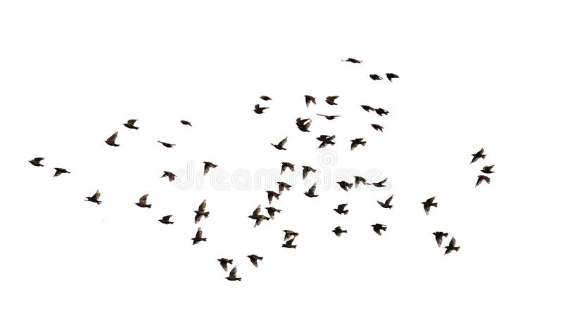 Flock of numerous black Starling birds flying in the distance. A flock of numerous black Starling birds flying in the distance on a white isolated background royalty free stock photo
