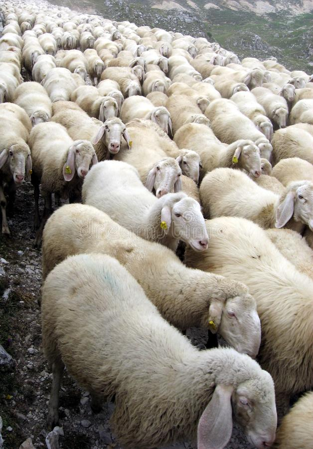Free Flock Of Sheep On A Pasubio 1 Royalty Free Stock Images - 17128019