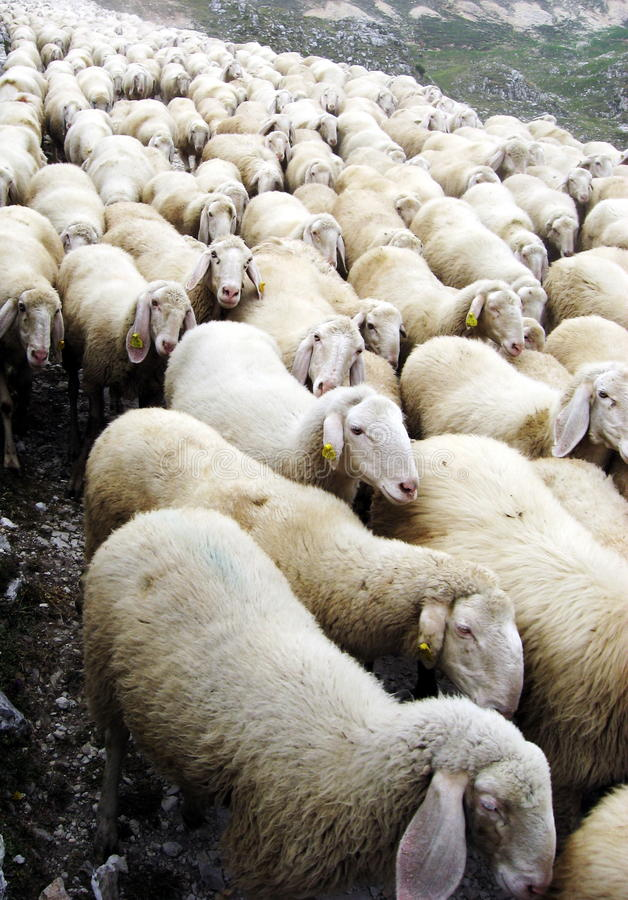 Free Flock Of Sheep On A Pasubio 1 Stock Images - 23181574