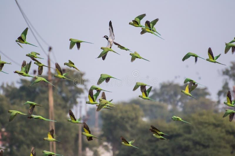 Flock på Rose Ringed Parakeets Flying arkivfoton