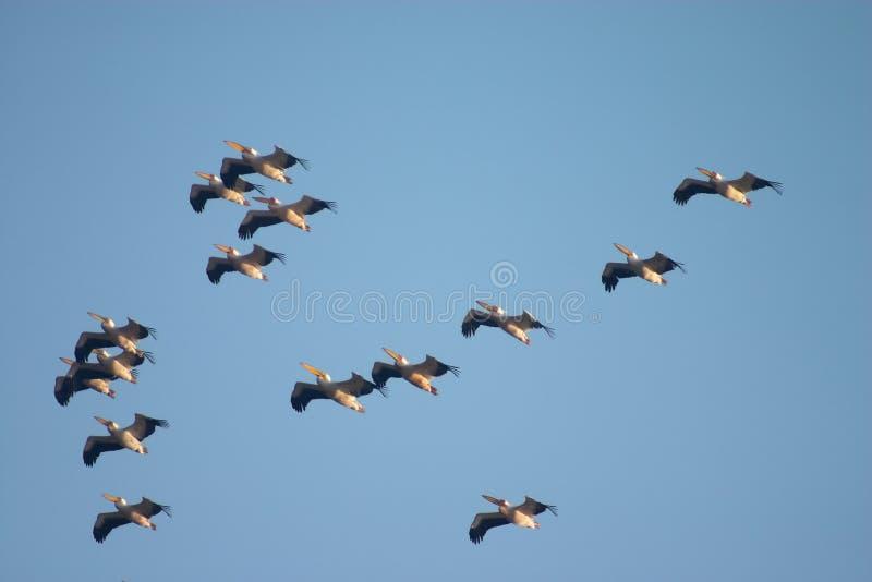 Flock Of Pelican Birds Royalty Free Stock Photography