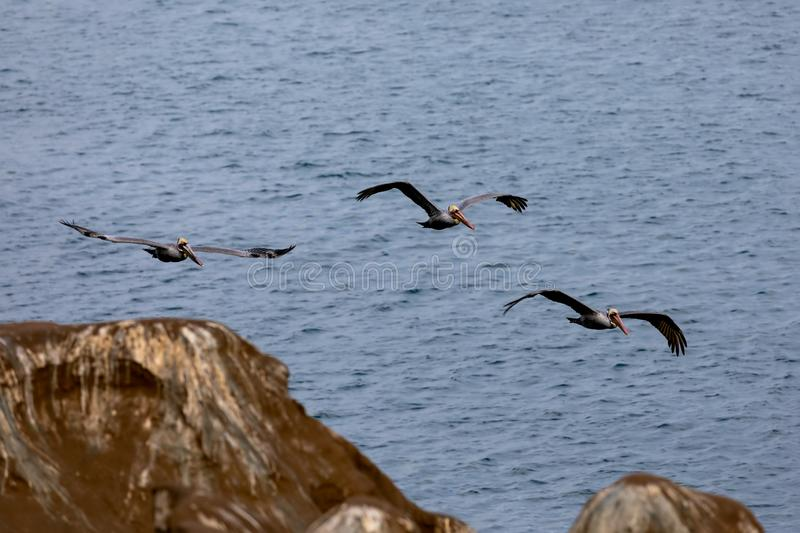 Flock of Pelican Birds flying over the cliffs in La Jolla Beach, San Diego, California. Blue Pacific Ocean in the background stock image