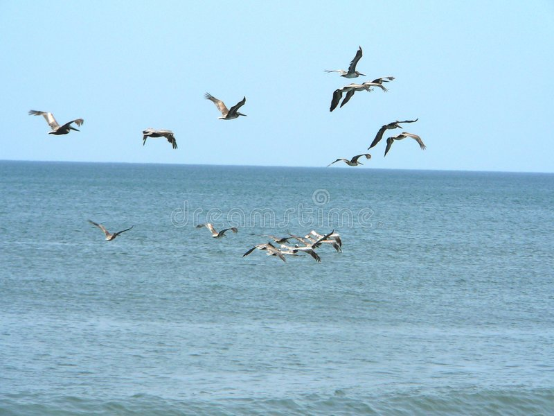 Flock of pelicans stock photo