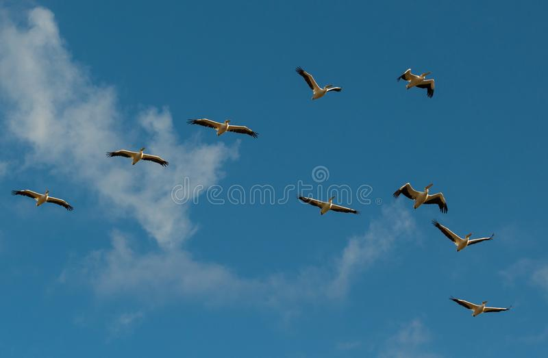 A flock of pelicans on a background of blue sky and white clouds stock photography