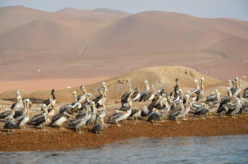 Flock of pelicans, Ballestas Islands, Peru, South America stock image
