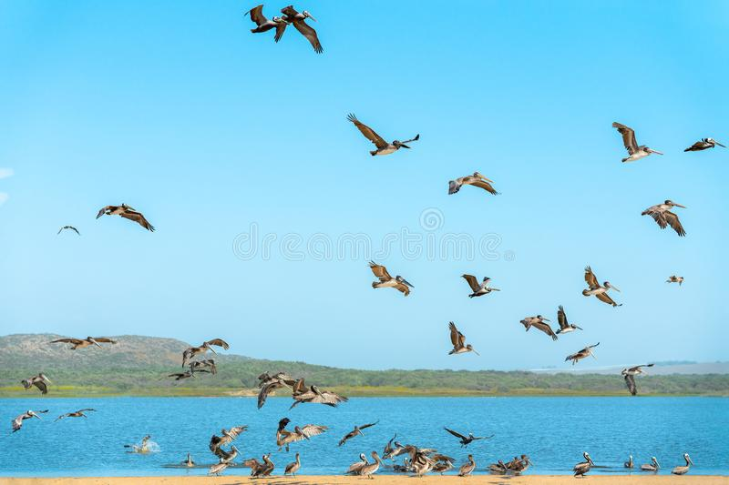 Flock of Pelicans on the Beach, Clear Blue Sky Background. Large Group of Birds, Animals in the Wild royalty free stock images