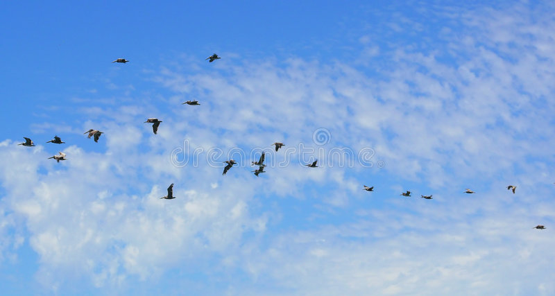 Flock of pelicans blue sky