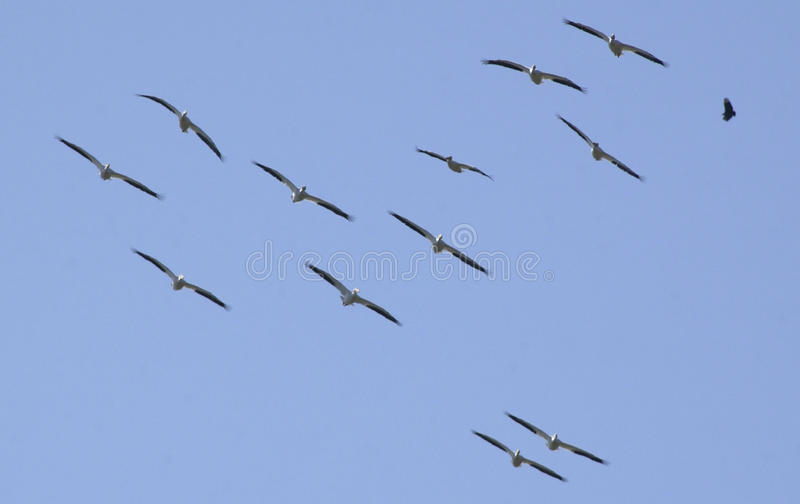 Flock of Pelicans in flight royalty free stock images