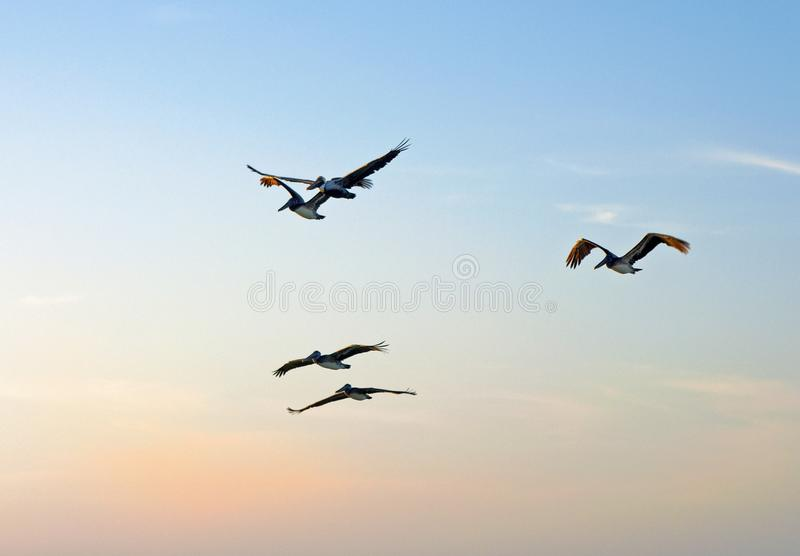 Flock of pelicans at sunset. Flock of pelicans flying together over the sea moments before sunset, Clearwater Beach, Florida, USA royalty free stock photo