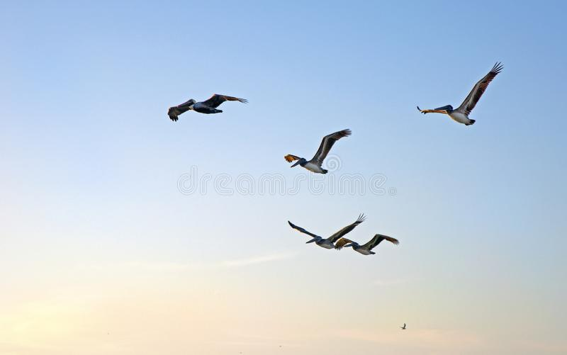 Flock of pelicans at sunset. Flock of pelicans flying together over the sea moments before sunset, Clearwater Beach, Florida, USA stock photos