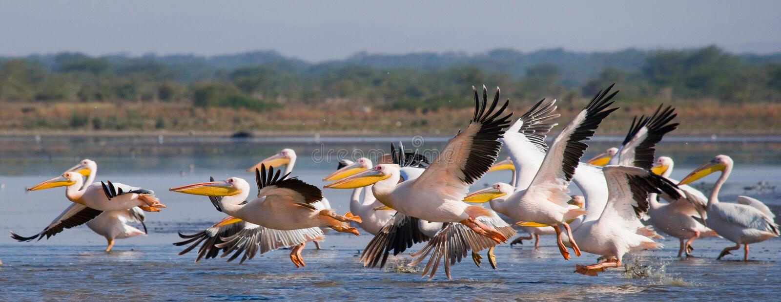 A flock of pelicans taking off from the water. Lake Nakuru. Kenya. Africa. stock image