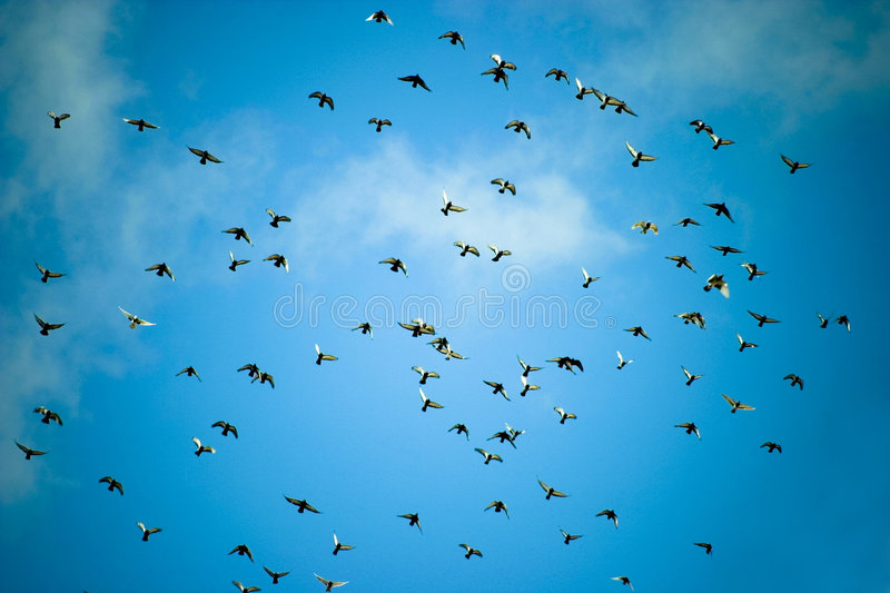 Flock of pigeons. A view of a large flock of pigeons flying high overhead against a blue sky stock photo