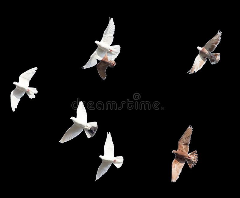 Flock of pigeons on a black background.  stock photo