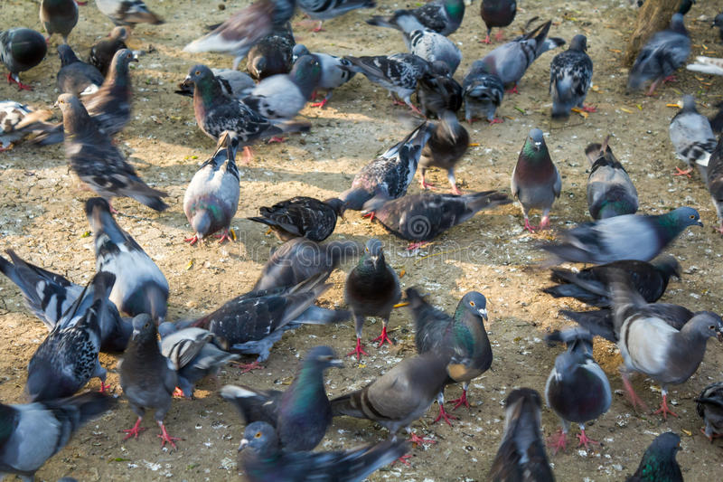 Flock of pigeons. Fighting over a scrap of food.The image showing random movement of these birds royalty free stock images