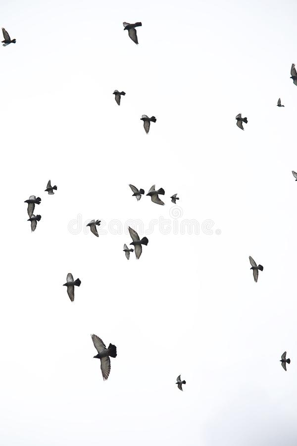 A flock of pigeons flies across the sky. Birds fly against the s. Ky. A large group of birds of pigeons flies across the sky on white background.r royalty free stock photo