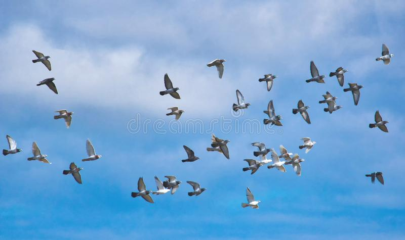 A flock of pigeons in flight against a blue sky. A large flock of pigeons in flight against a blue sky stock photo