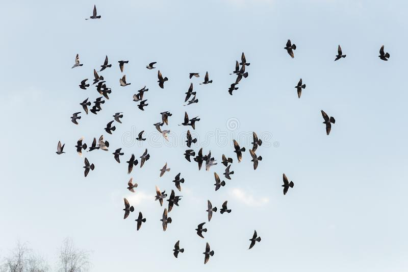 Flock of pigeons in flight. Against the sky stock image