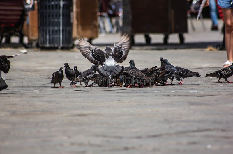 Flock of pigeons intent on eating bread crumbs left by tourists in Venice.  royalty free stock photography