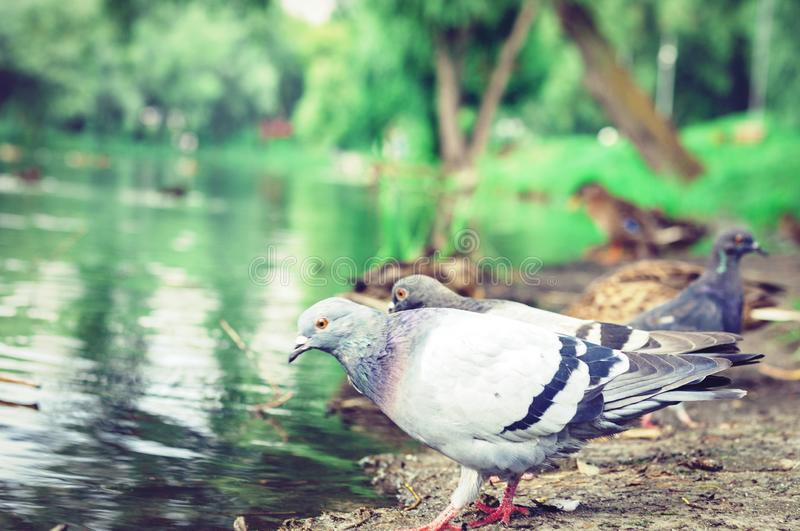 Flock of pigeons on a lake in a park.  stock photos