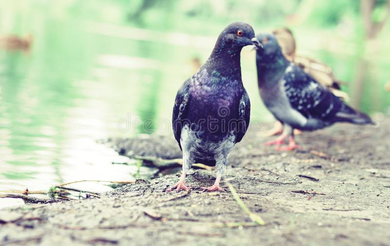 Flock of pigeons on a lake in a park.  stock image