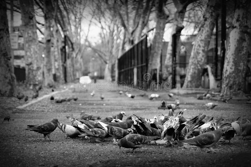 Flock of pigeons in NYC. A flock of pigeons pecking on the pavement in New York royalty free stock photo