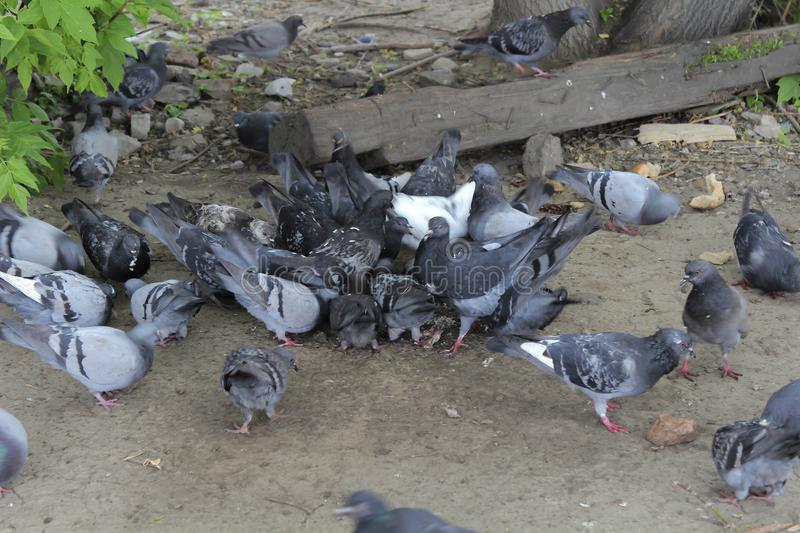 A flock of pigeons. Pecking bread. Pieces of bread are scattered on the ground stock photo