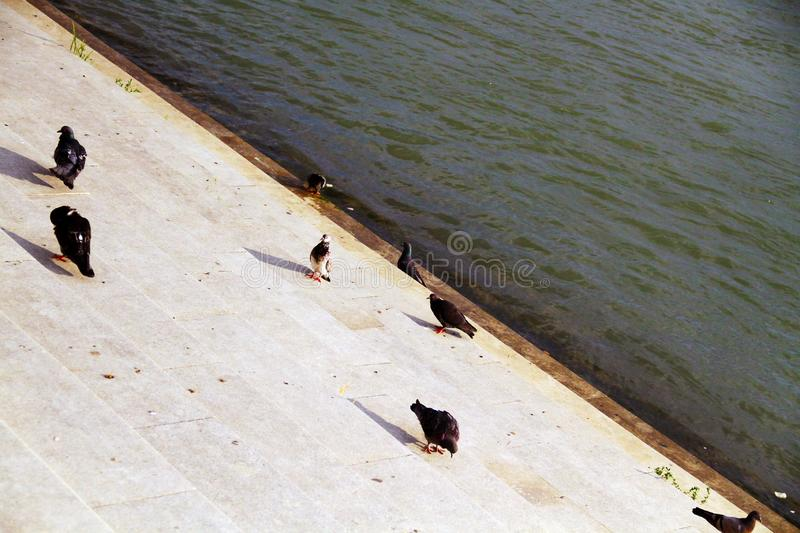 A flock of pigeons on the pier by the river stock image