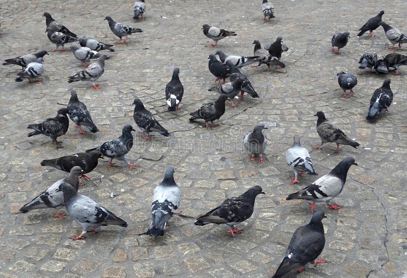 A flock of pigeons in Timisoara. A flock of pigeons searching for food in Timisoara, Romania stock photos