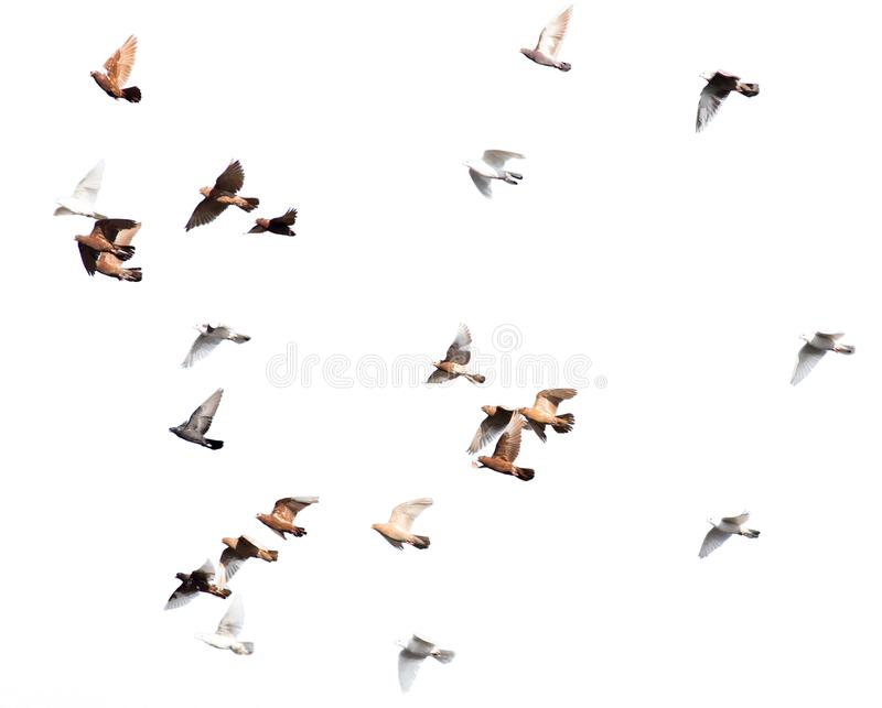 Flock of pigeons on a white background royalty free stock photography