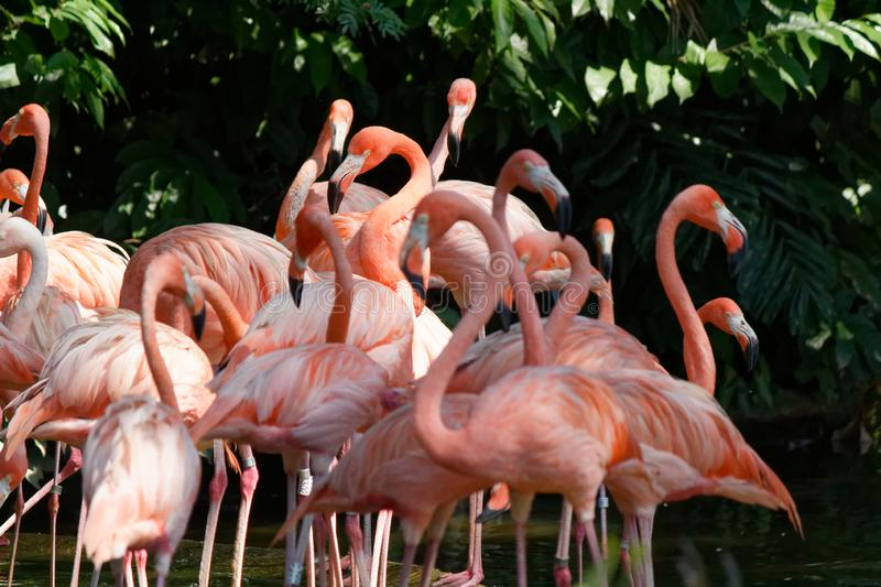 Pink Flamingoes, Pink Flocking together. A flock of pink flamingo birds wading in the water in search for food. Pink and green hues royalty free stock photo