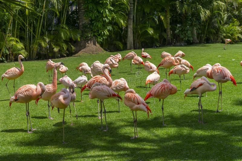 Flock of pink flamingos grazing on a green meadow beside the pond, Loro parque, Tenerife. A flock of pink flamingos grazing on a green meadow beside the pond royalty free stock images