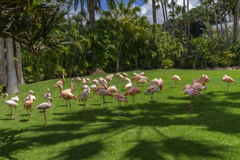 Flock of pink flamingos grazing on a green meadow beside the pond, Loro parque, Tenerife. A flock of pink flamingos grazing on a green meadow beside the pond stock photography