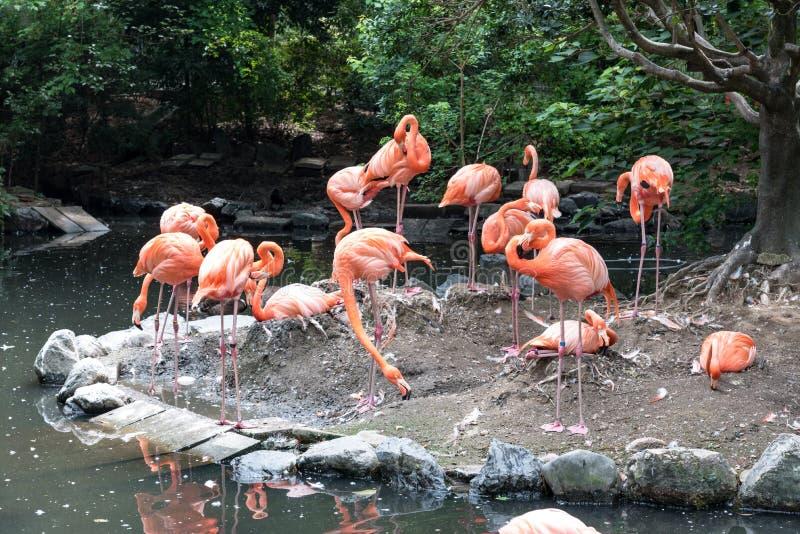 Flock of pink flamingos in pond. Bird and wild life animal concept. Natural life of flamingo royalty free stock photos