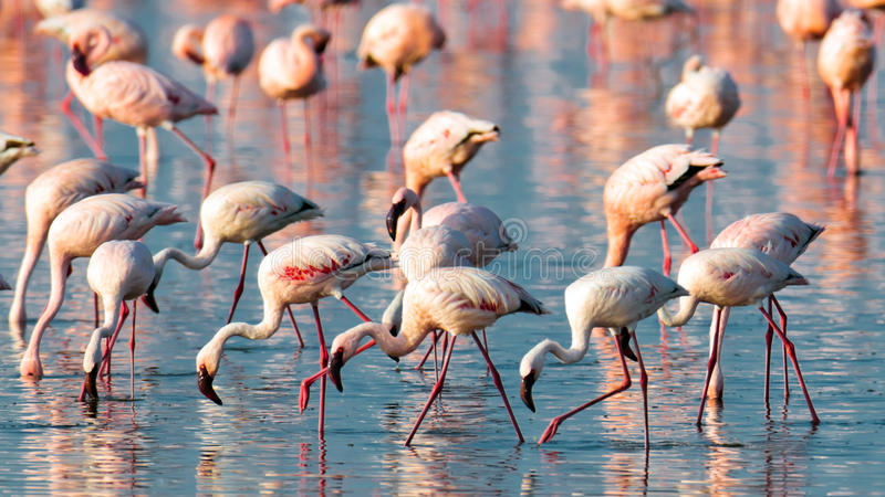Download A Flock Of Pink Flamingos Walk On Water Stock Photo - Image: 15609768