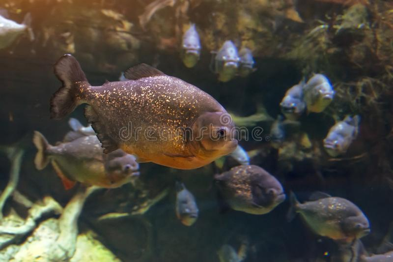A flock of piranha fish in the dark waters of the Amazon River stock photo