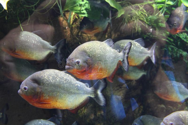A flock of piranha fish in water royalty free stock images