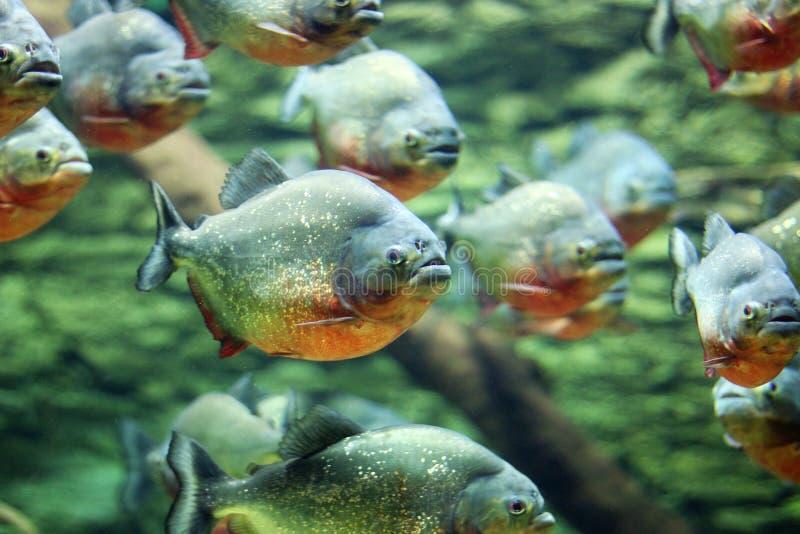 Flock of piranhas swim royalty free stock images