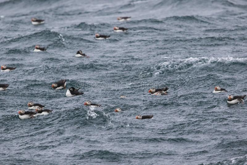 Flock of puffins swimming royalty free stock photography