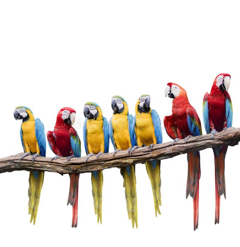 Flock of red and blue yellow macaw purching on dry tree branch i stock image