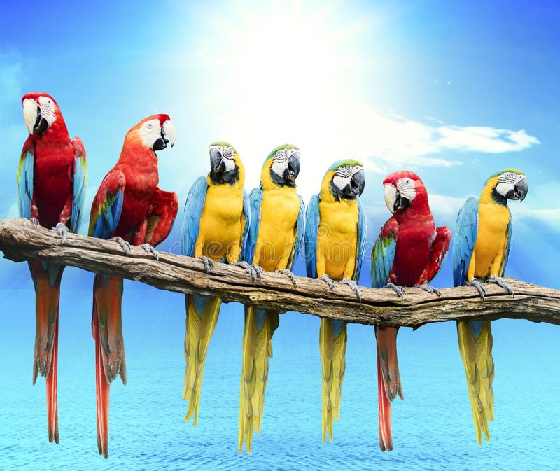 Flock of red and blue yellow macaw purching on dry tree branch i royalty free stock photo